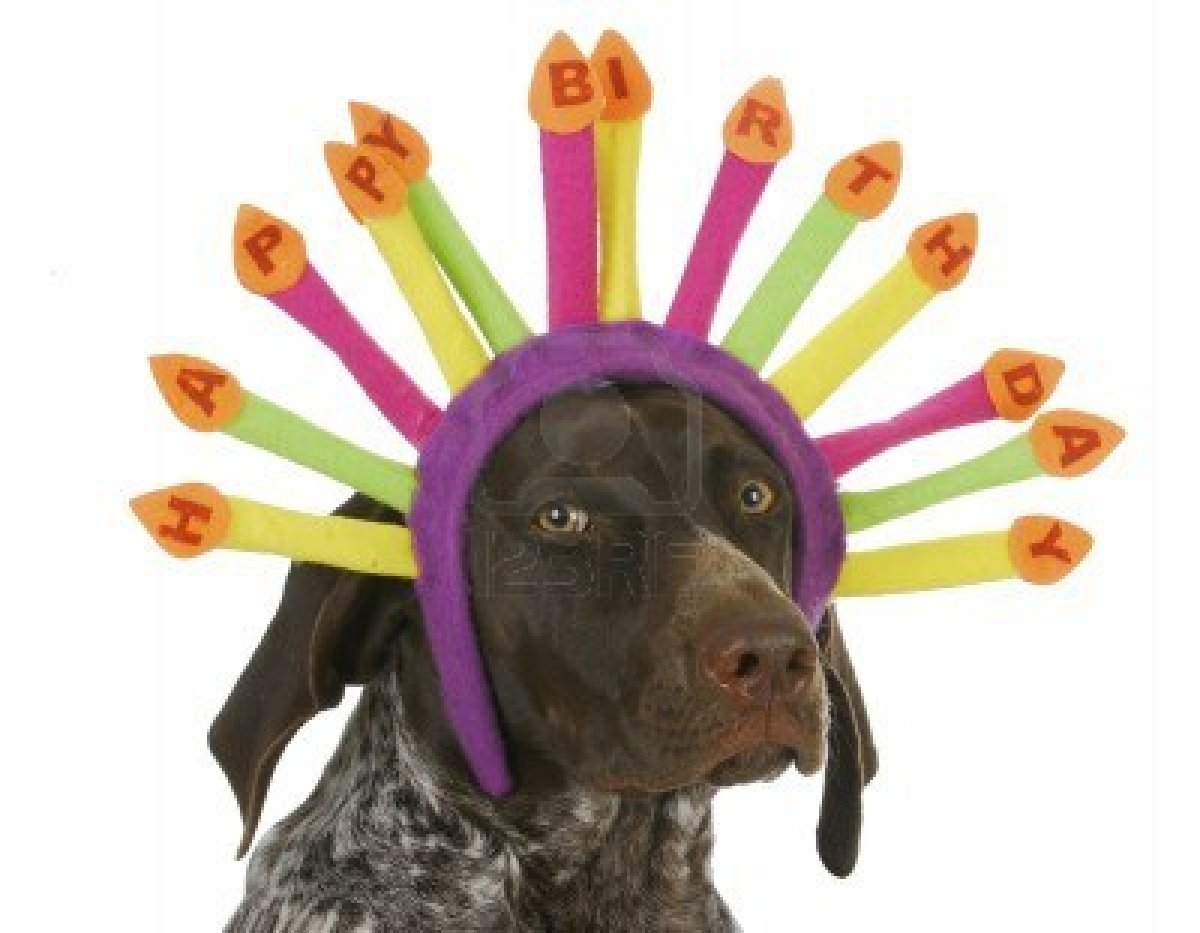 16693604-happy-birthday-dog--german-short-haired-pointer-wearing-birthday-candle-headband-on-white-background